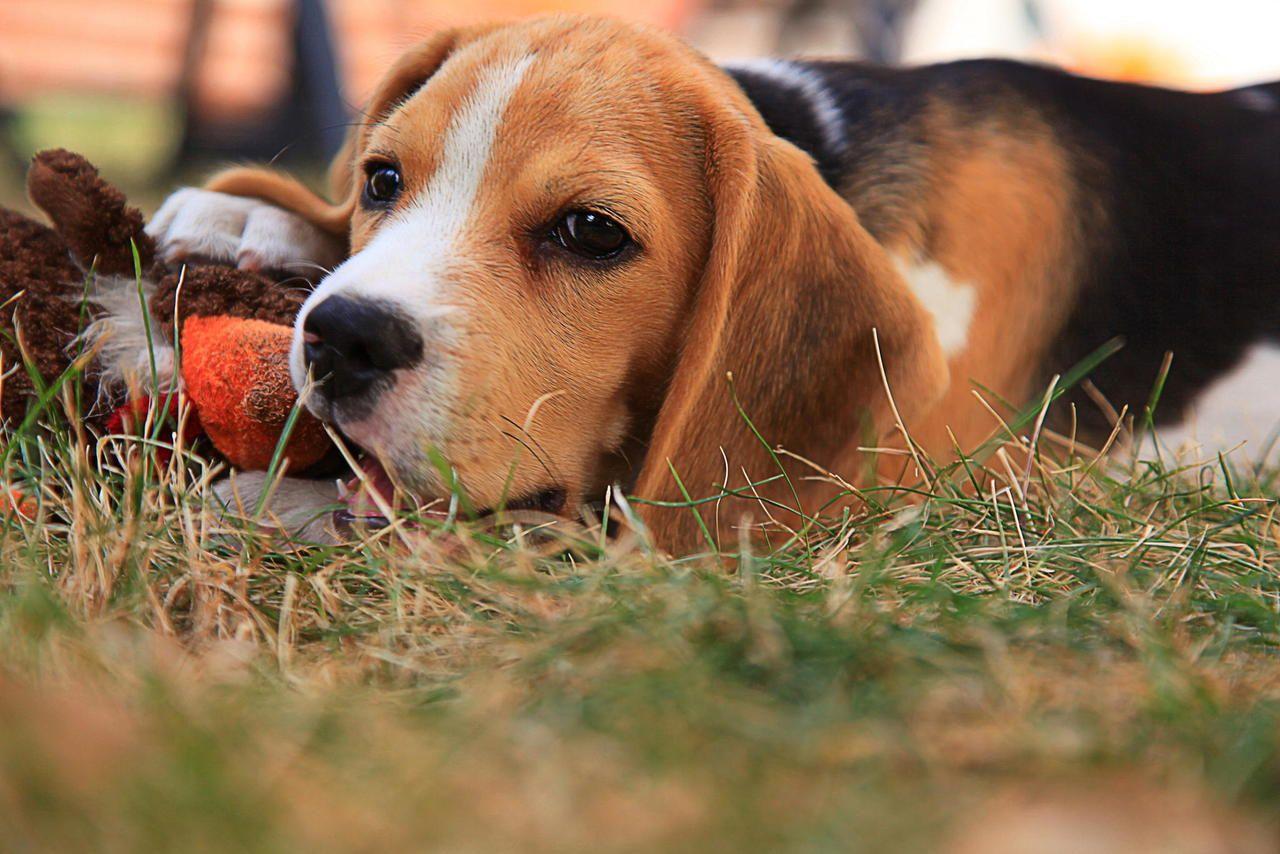 "redwingjohnny: "" (via Dorotea [beagle] by bubulonis aper / 500px) """