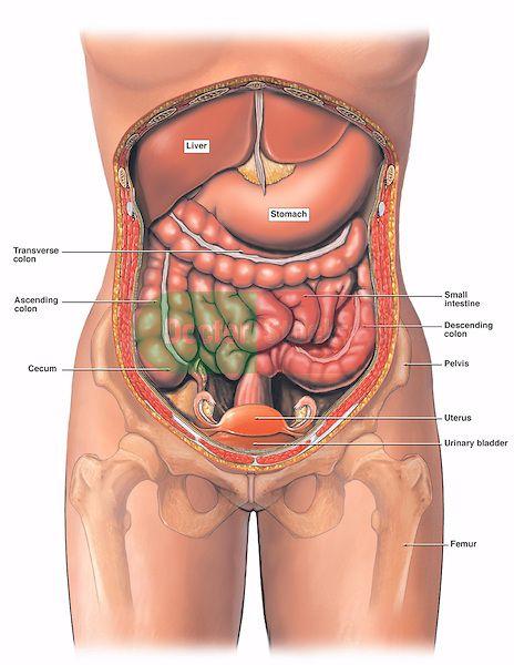 internal+anatomy+of+woman | Anatomy of the Female Abdomen and Pelvis ...