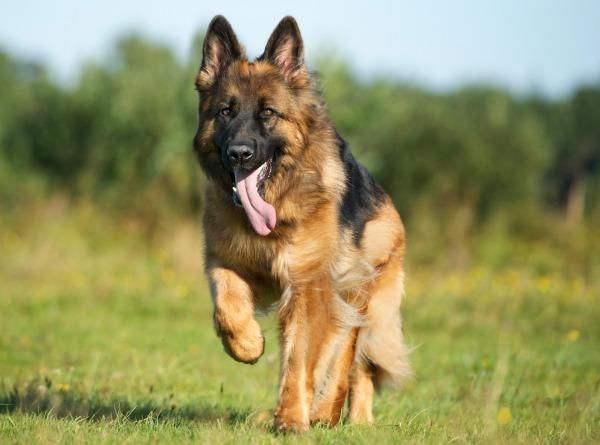 German Shepherd Breed Standards Size Characteristics And Coats