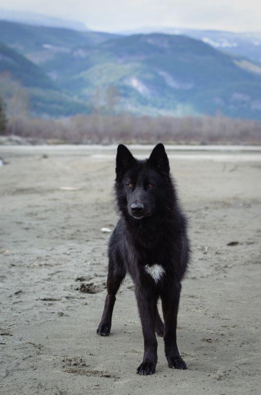 Alaskan Husky Alaskan Noble Companion Dog Yarrow Google Search