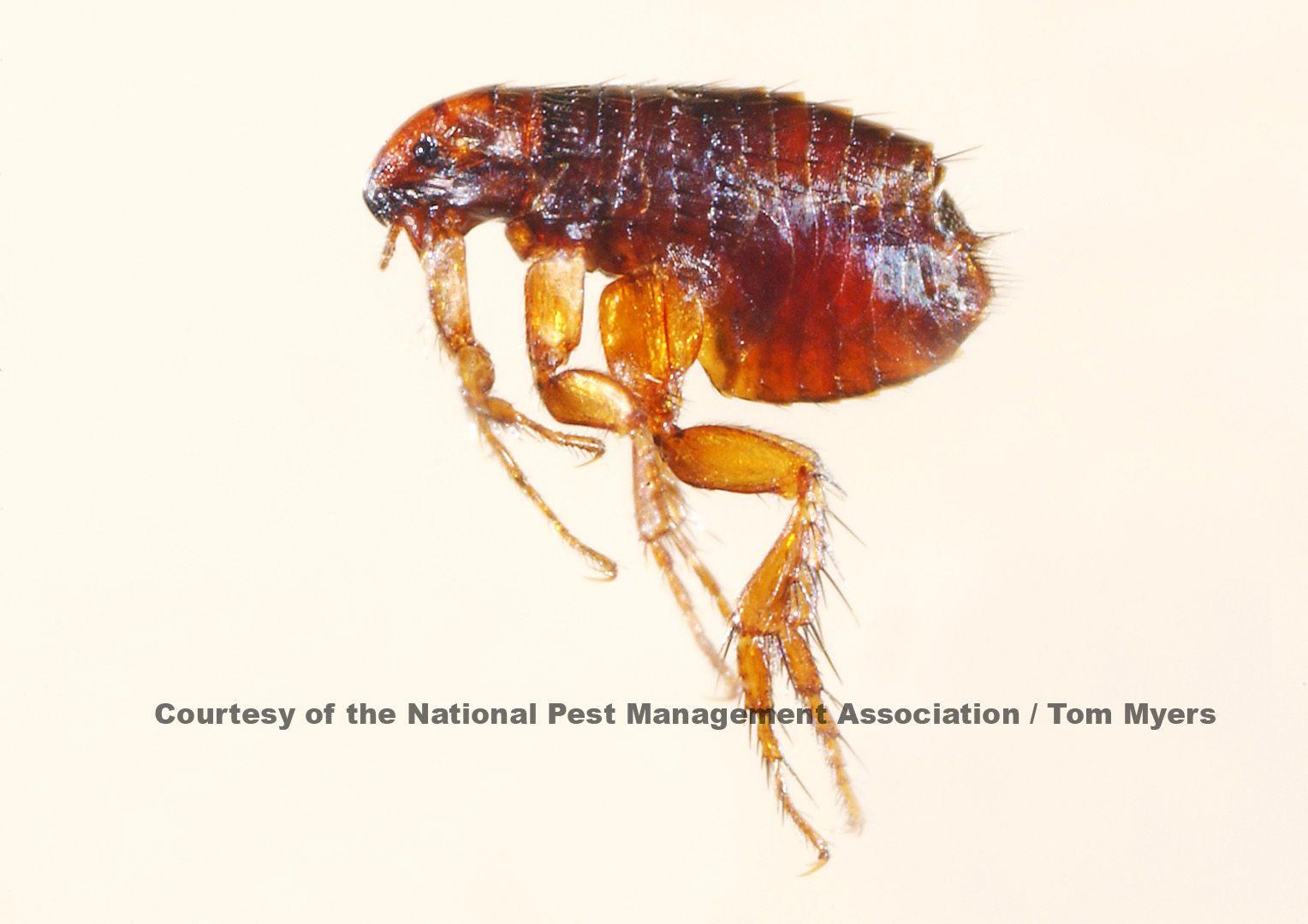 Flea Facts About Fleas Types Of Fleas Pestworldforkids Org Flea In House Fleas Flea Pest Control