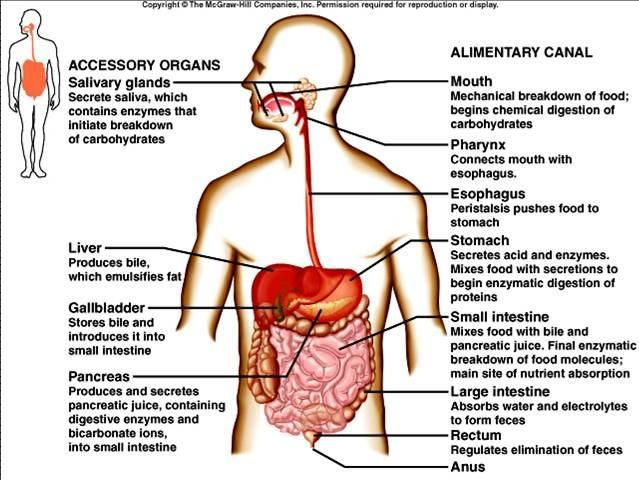 digestive tract in order | digestive system | projects to try, Human body