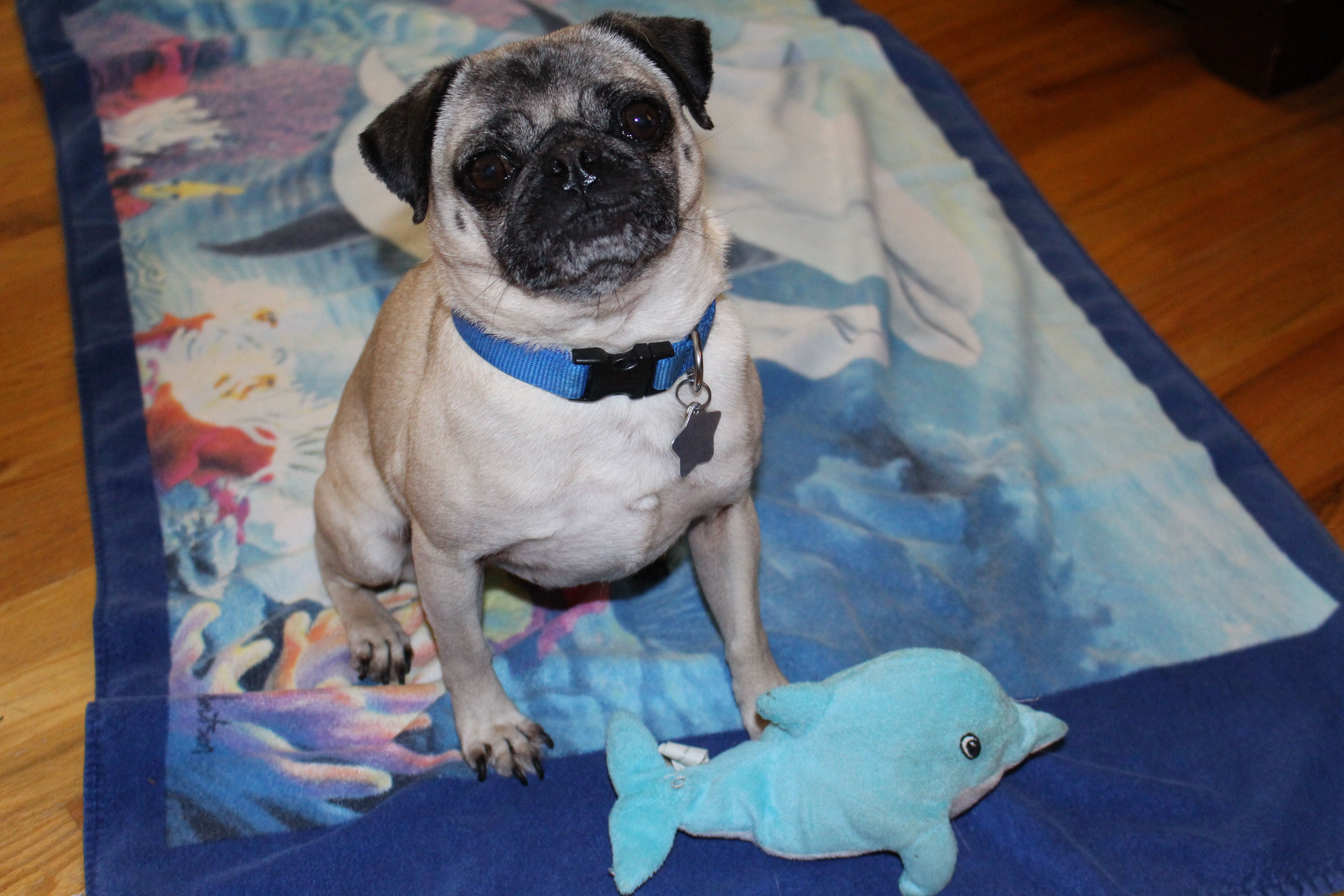 Happy World Oceans Day! Cute Pug Pictures Pin Your