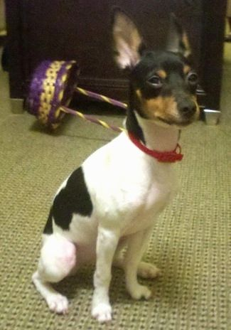 Front Side View A White With Black And Tan Rat Terrier Puppy Is