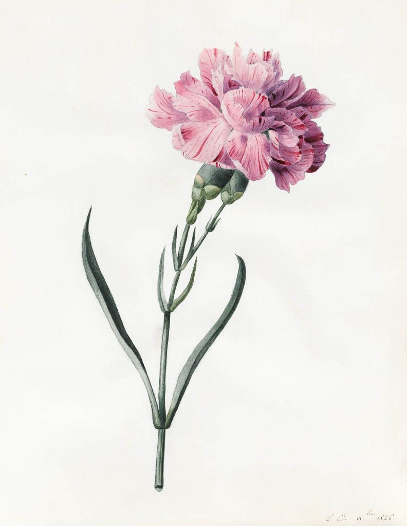 Princess Louise D Orleans Carnation Nelke Water Colour