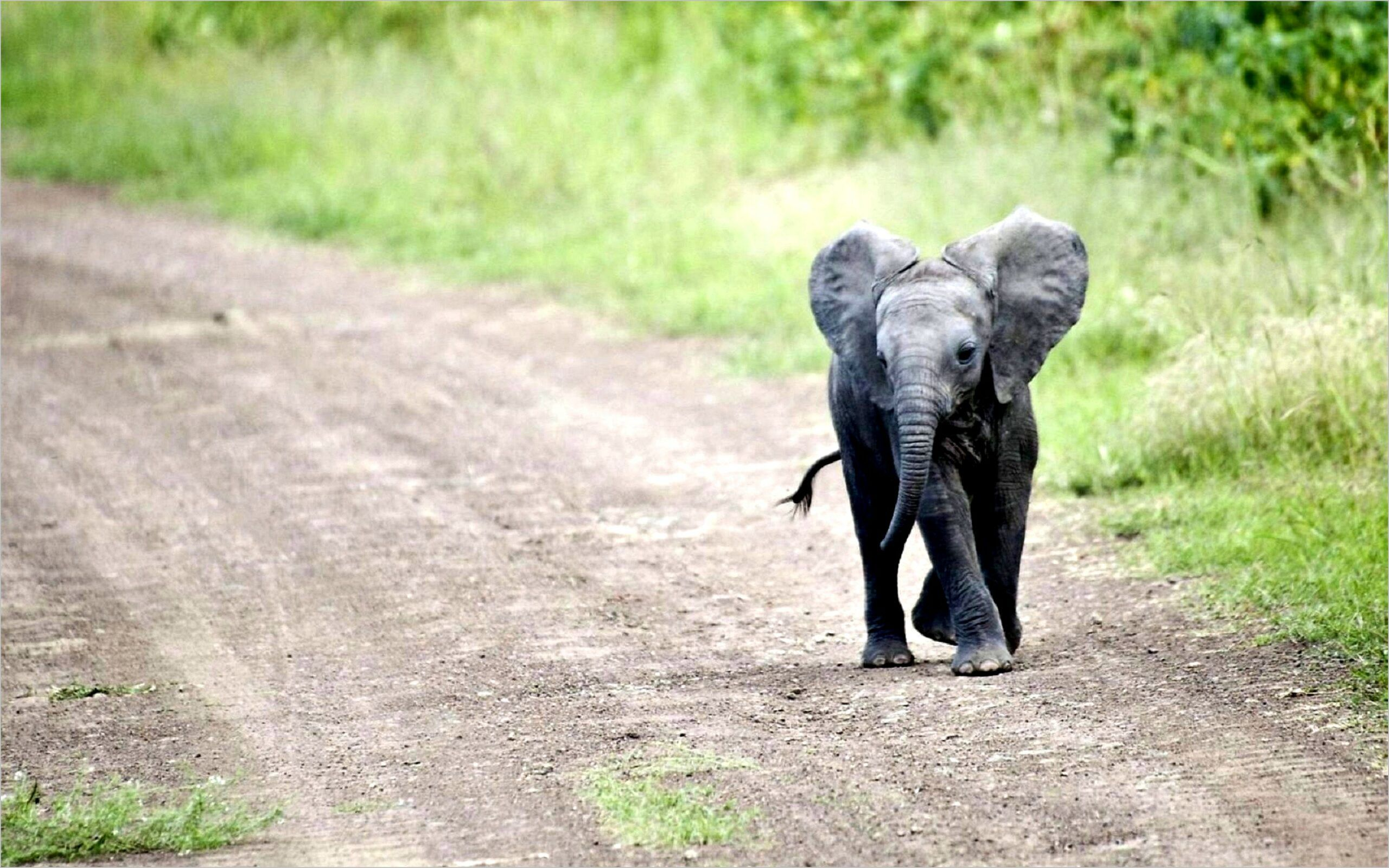 African Elephant 4k Wallpaper Cute Baby Elephant Baby Elephant Pictures Baby Animals