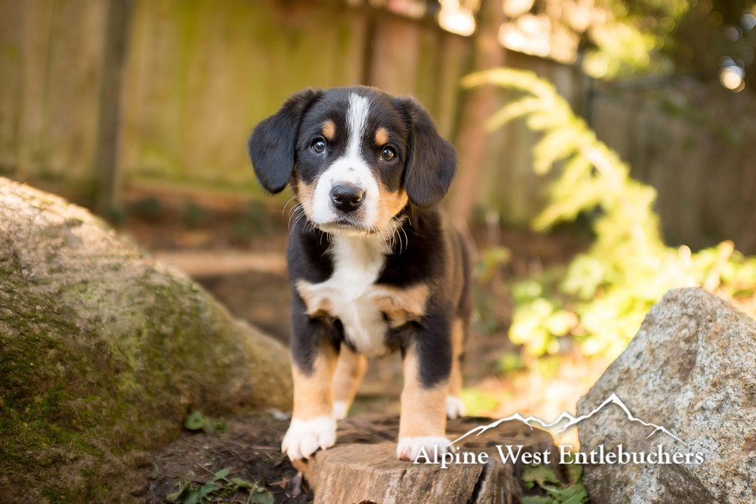 Entlebucher Mountain Dog Puppy At 6 Weeks Old Entlebucher