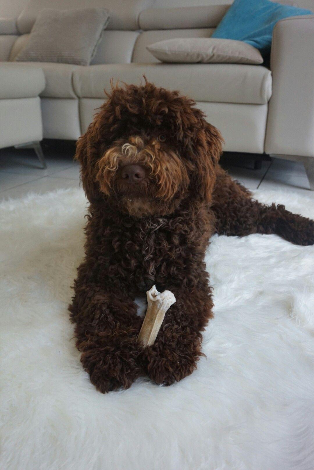 Pin von Rosenkranz auf Lagotto Romagnolo Hunde