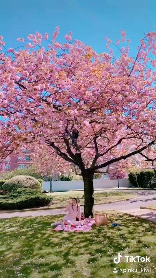 Sakura Picnic Video Animal Crossing Otaku Room Kawaii Room