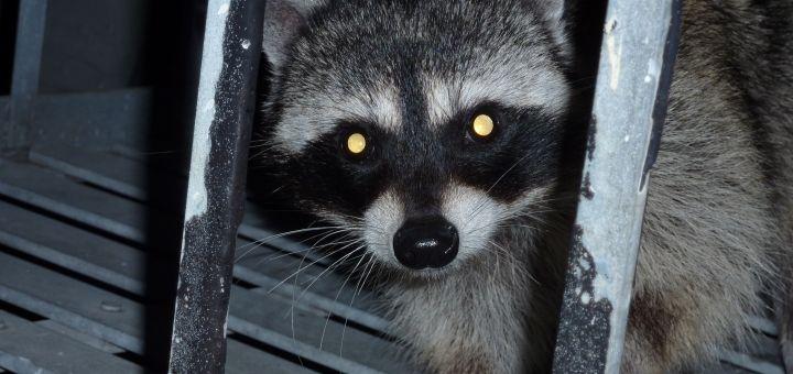 You Can Earn Money With A Blog Raccoon Earn Money Aggressive