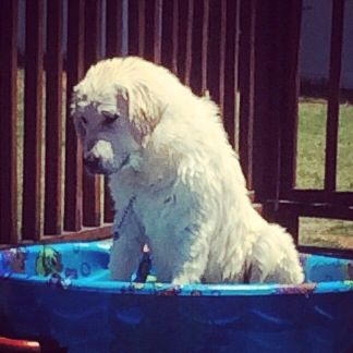 7 Month Old Max English Cream Golden Retriever Loves Water