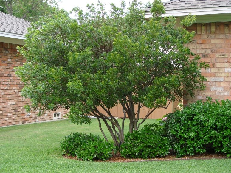 The Wax Myrtle Is A Small Tree Or Large Shrub It Is An Evergreen The Glandular Leaves Are Long Have A Leath Fast Growing Trees Myrtle Tree Florida Gardening