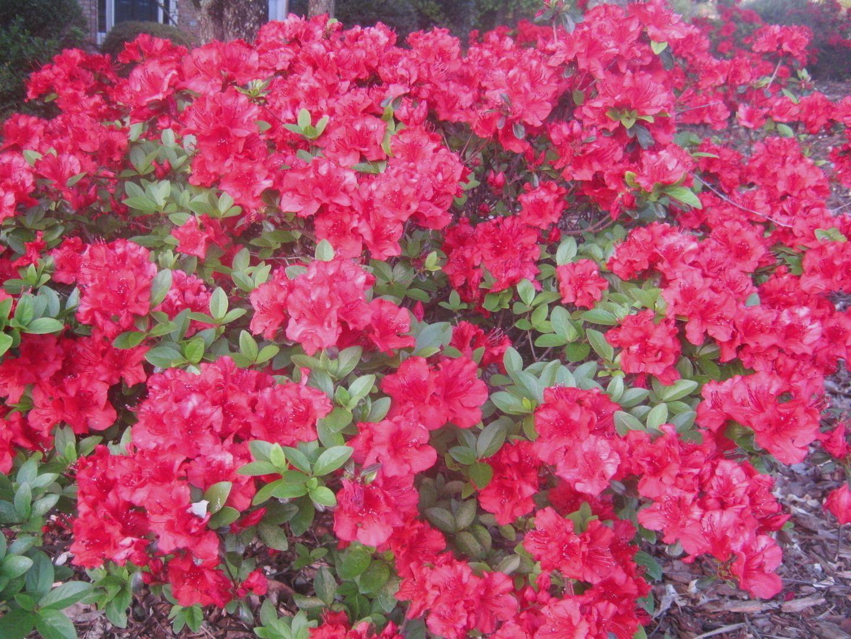 How To Grow Azaleas Azaleas landscaping, Growing flowers