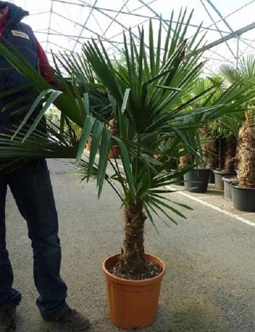 photo palmier de chine palmiers yukka bananiers pinterest palmiers chine et arbuste. Black Bedroom Furniture Sets. Home Design Ideas