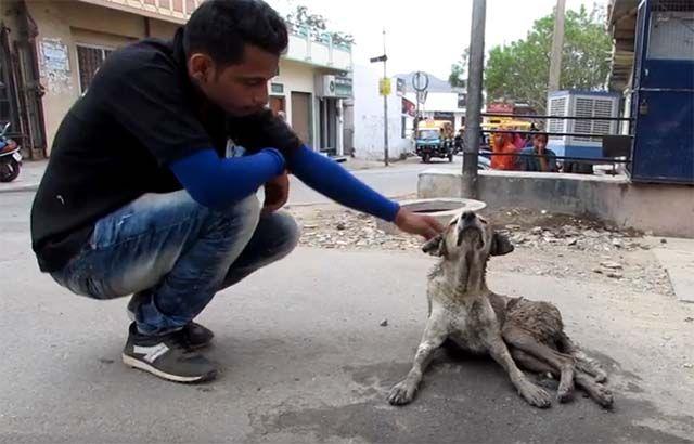 Animal Aid Unlimited, escuchó hablar de un perro viejo y abandonado que había sido sacado de una alcantarilla por un transeúnte.