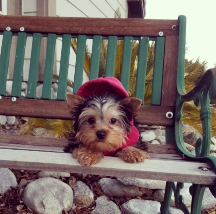 Yorkshire Terrier Puppy For Sale In Los Angeles Ca Adn 22740 On