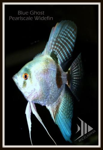 Widefin Blue Pearlscale Angelfish | Angel fish, Freshwater ...