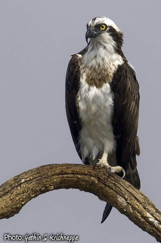 Eagles And Hawks Of New York South African Birds Osprey Bird Pet Birds