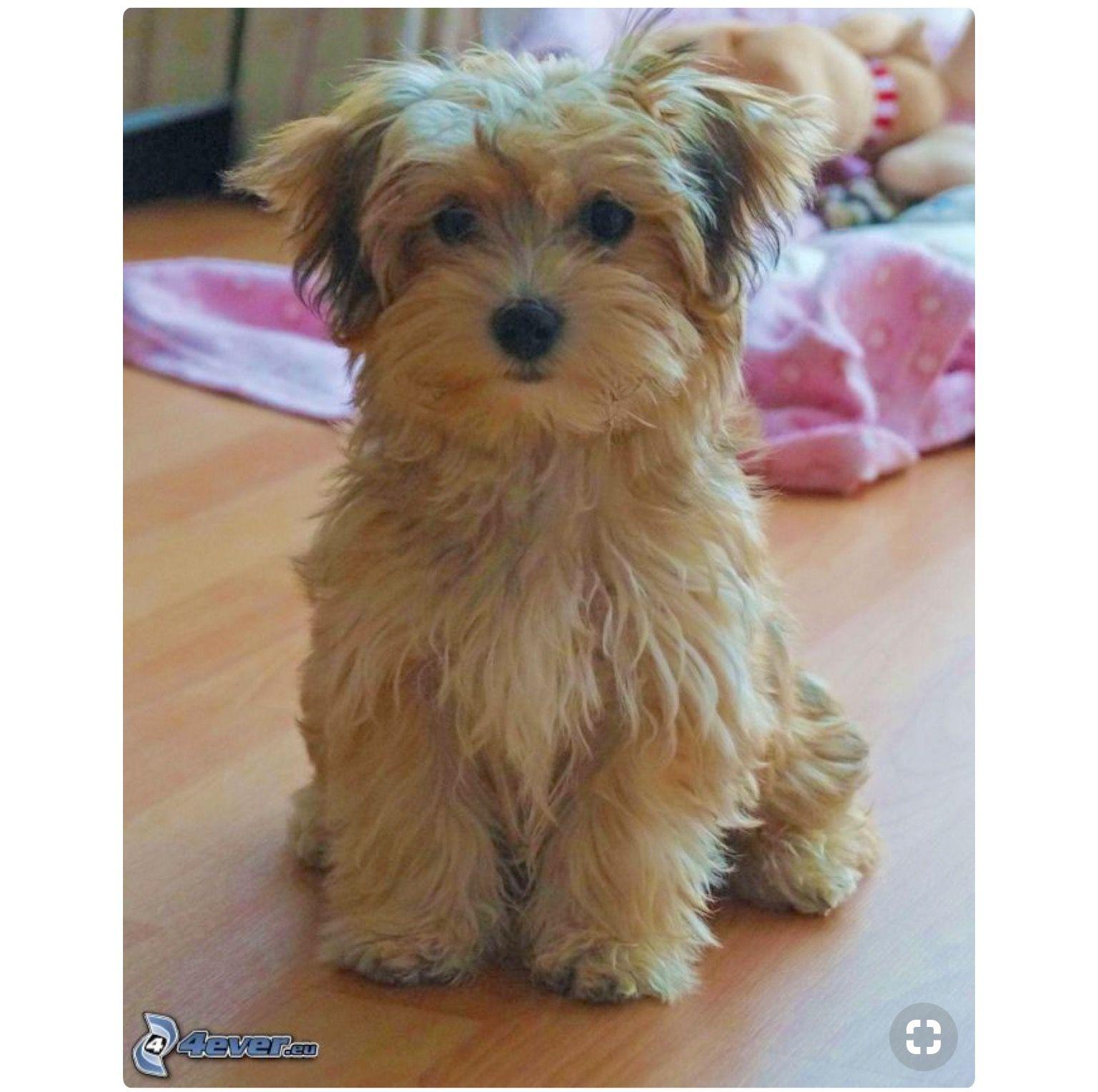 Pin By Krystal Carlson On Bill Havanese Puppies Cute Dogs Pet Dogs