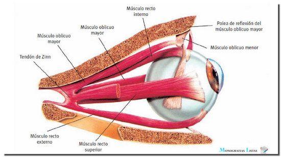 musculos o dos sentidos - Pesquisa Google | Músculos | Pinterest ...
