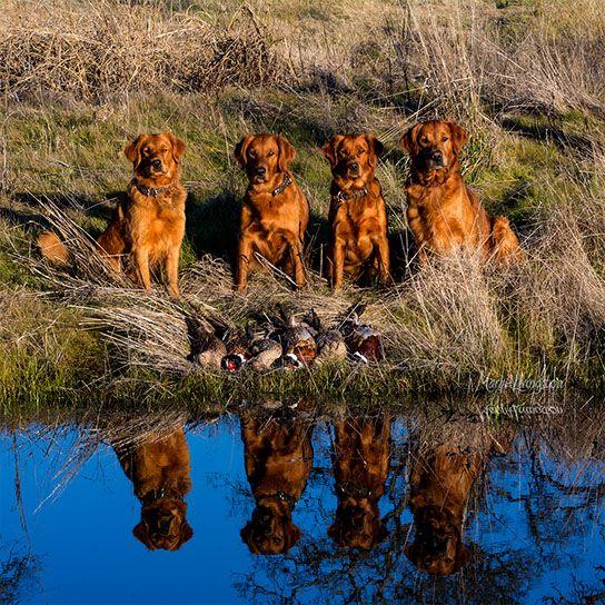Redtail Golden Retrievers Redtail Golden Retrievers Retrievers