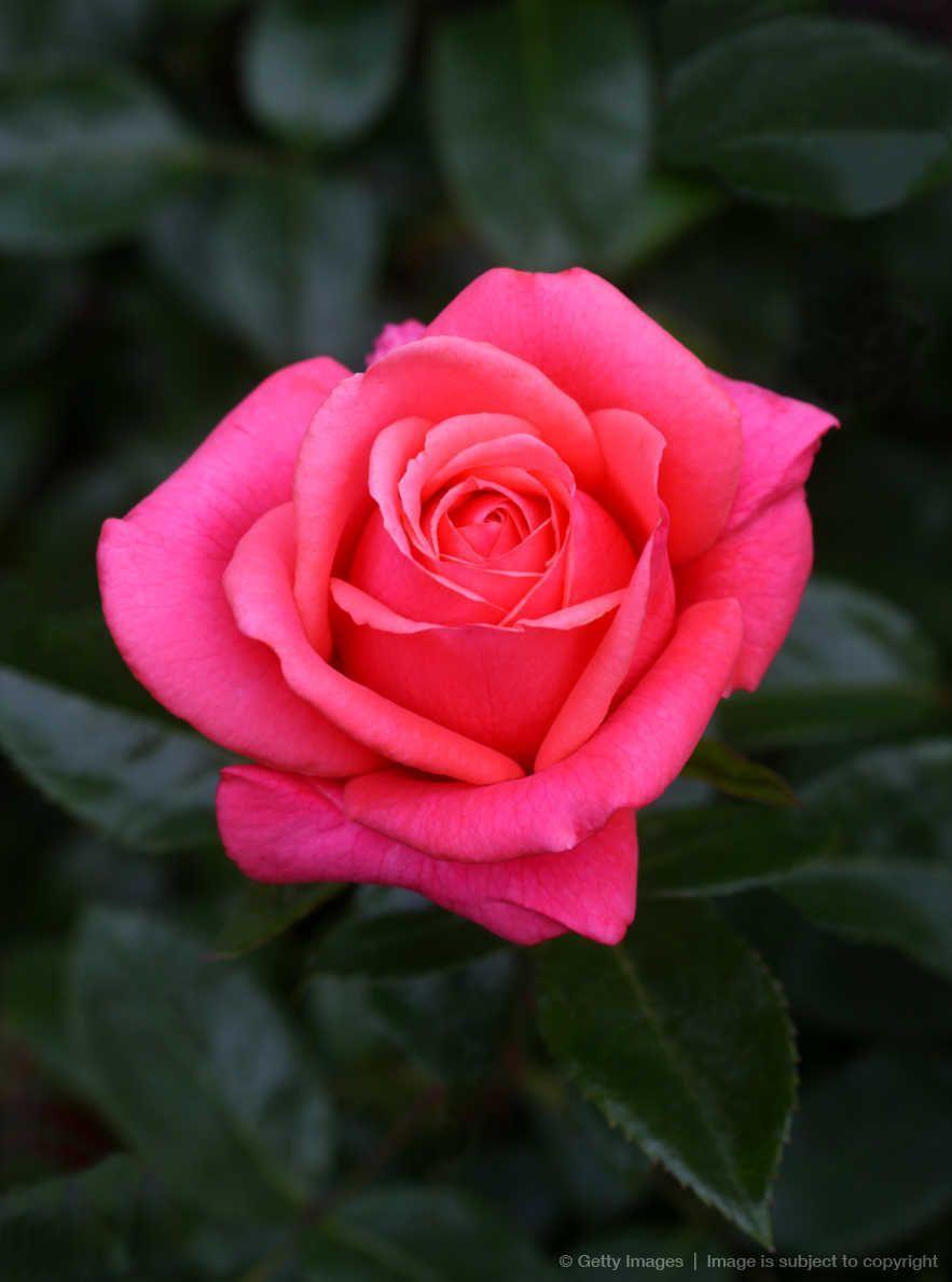 Hybrid Pink Rose Variety Showtime Blumen Rosengarten Garten