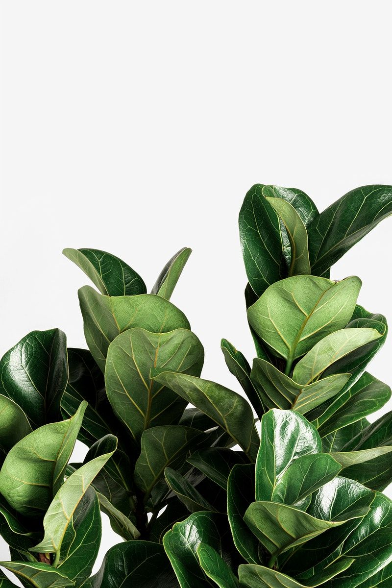 Download premium image of Fiddle-leaf fig plant on an off white background by Jira about fiddle leaf, fig leaf, indoor plant, background, and background image 2355047