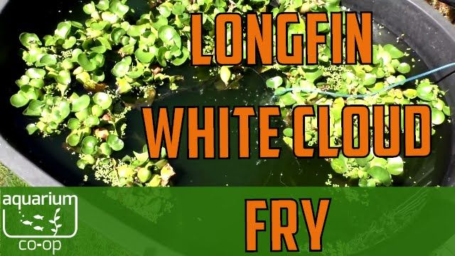 longfin white cloud fry in outdoor tropical pond diy water polisher