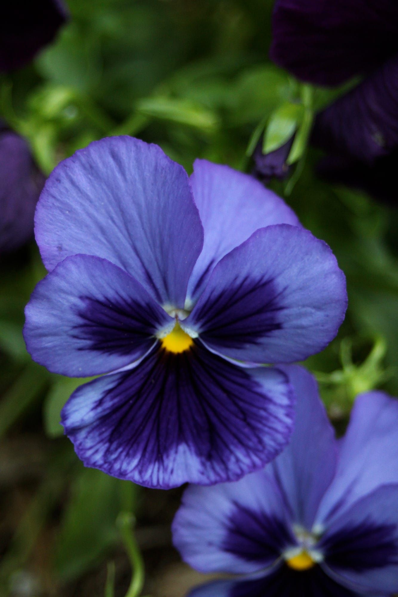 A Purple Pansy With Images Pansies Flowers Wonderful Flowers Purple Flowers
