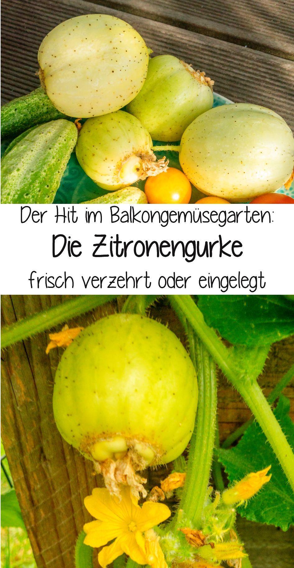 Mehltau Gurke Zitronengurke Balkon Gemuse Garten In Baden Baden Rezept Gurke Gesundes Essen Kochen Zitrone
