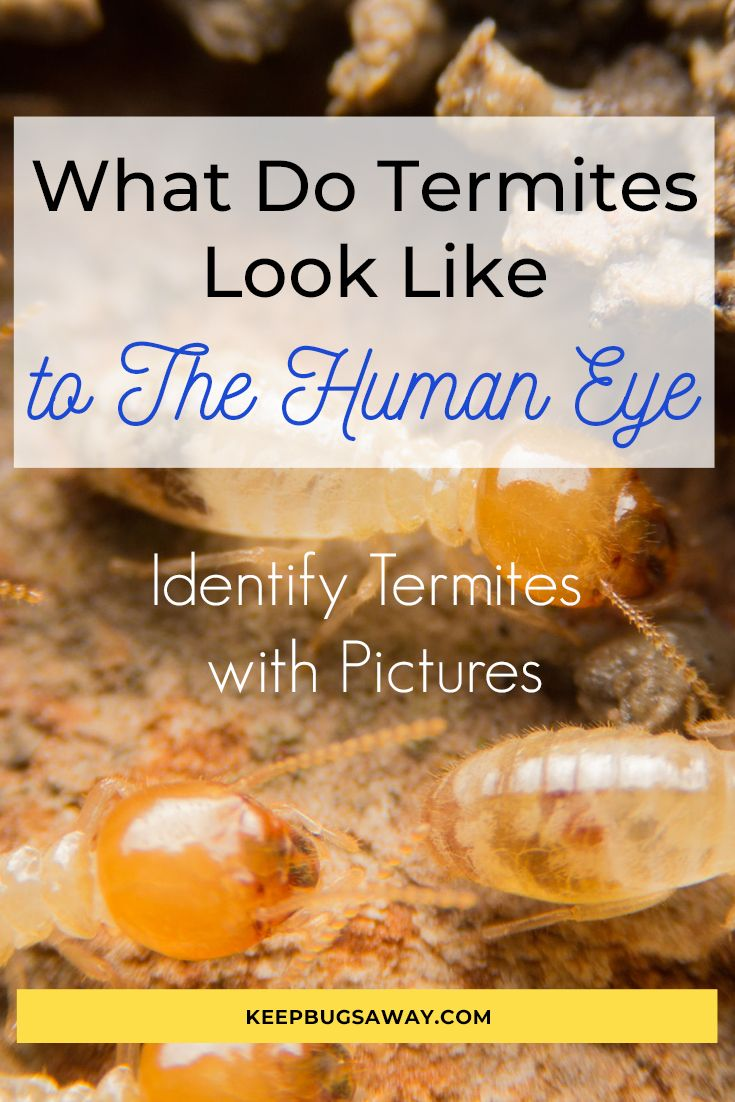What Do Termites Look Like to The Human Eye See Pictures