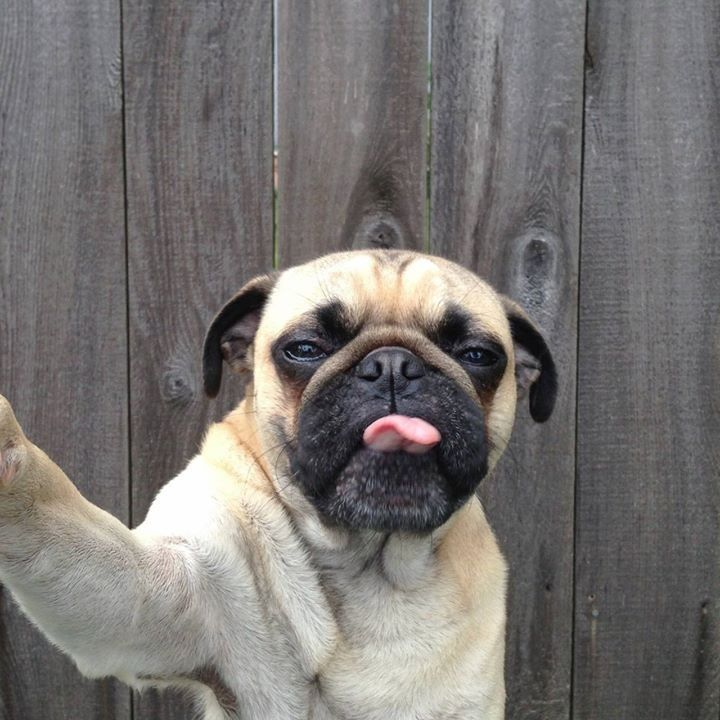 Carlinho Love Dog Selfie Puppy Photography Funny Animal Pictures