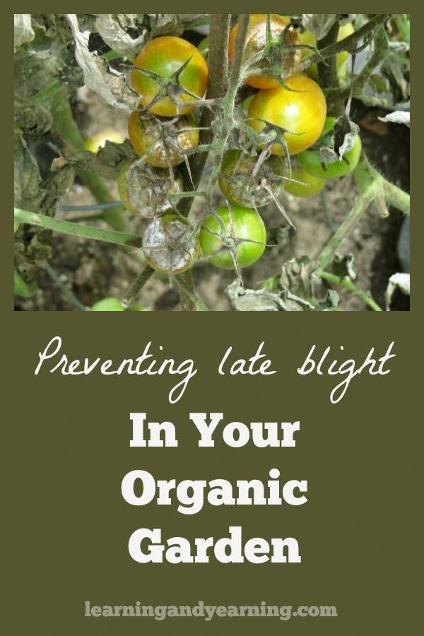 We gardeners are a persevering lot, don't you think? No matter what went wrong last year, we are ready to forge ahead this year. This year make preventing late blight in your organic garden a priority with these great tips!