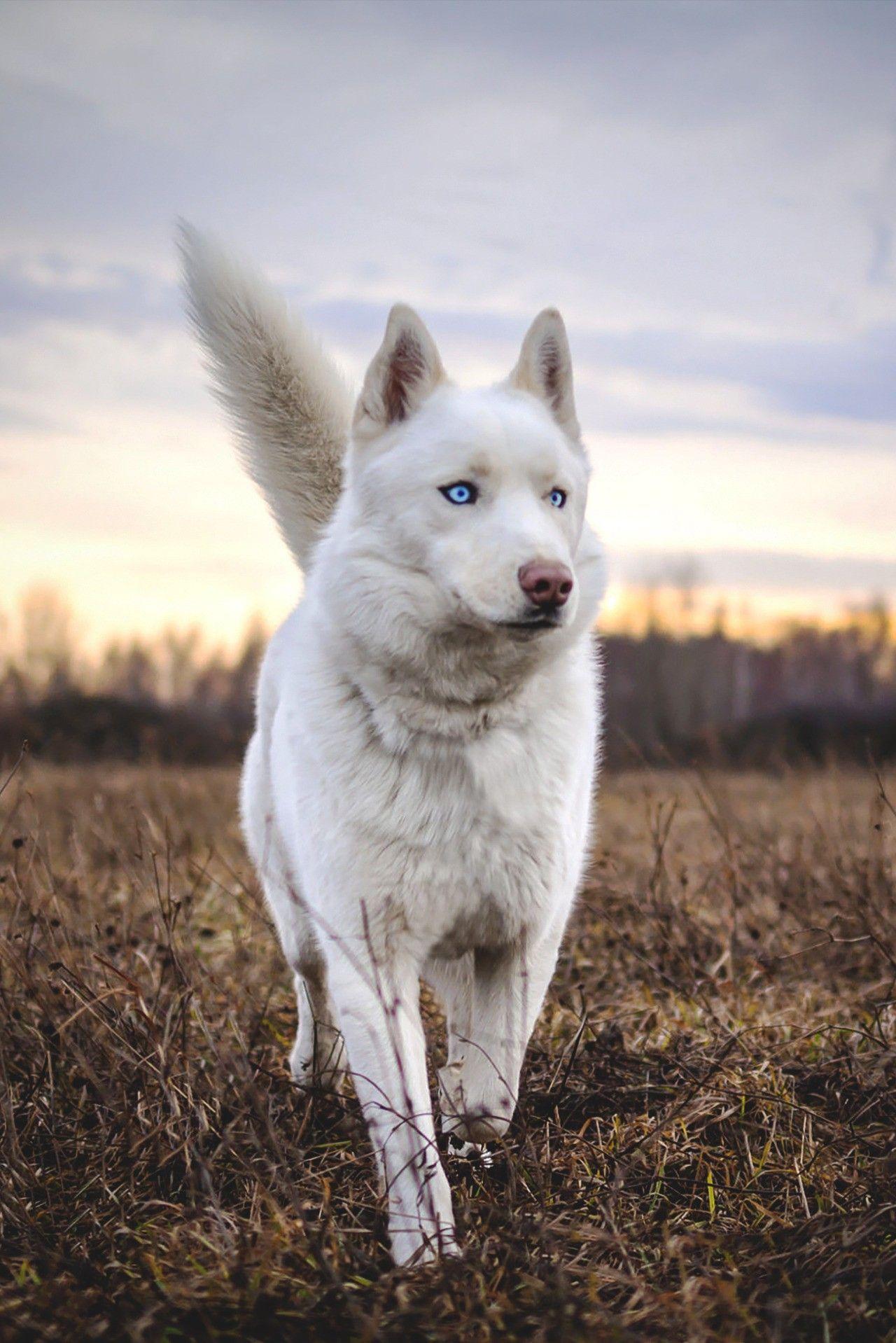 Beautiful White Husky Siberianhusky White Siberian Husky