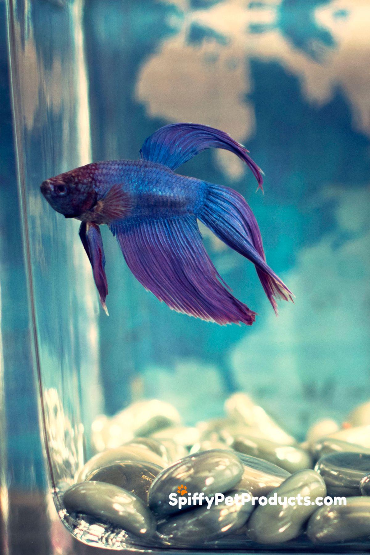 Betta Fish Tank Setup Ideas That Make A Statement Spiffy Pet Products Betta Fish Tank Pet Fish Betta Fish