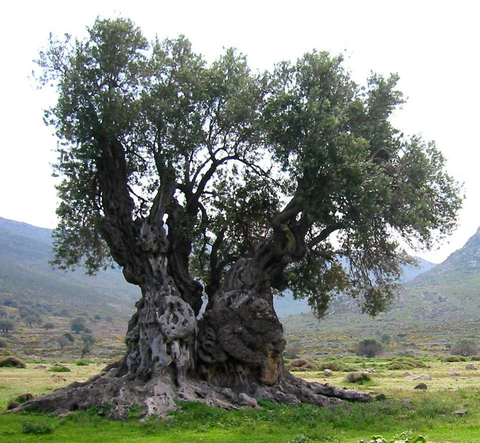 The Olive Trees In The Garden Of Gethsemane Have Been Tested With Carbon 14 And They Are Nearly 2000 Years Old Baum Fotografie Olivenbaum Alte Baume