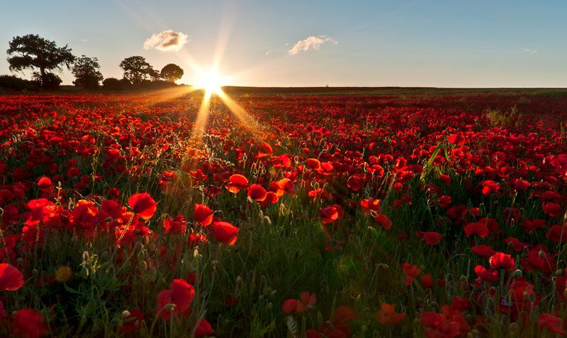 Poppies, Sandridge, St. Albans, England By Chris Askew