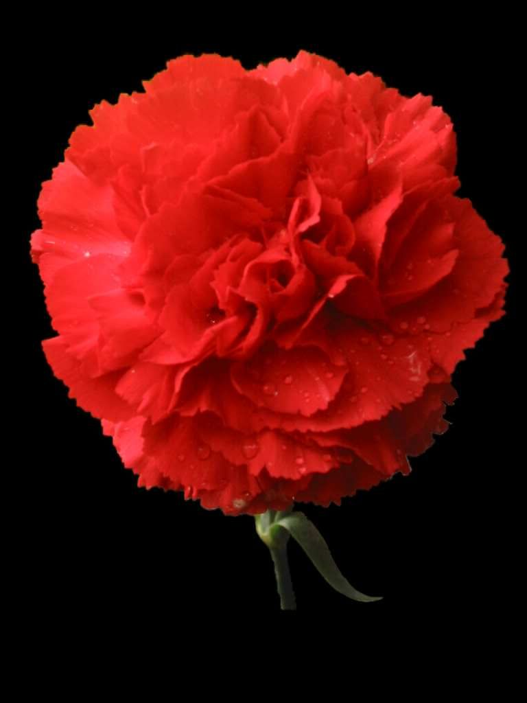 Types Of Spanish Flowers Wholesale Flowers Carnation Flower Red Carnation