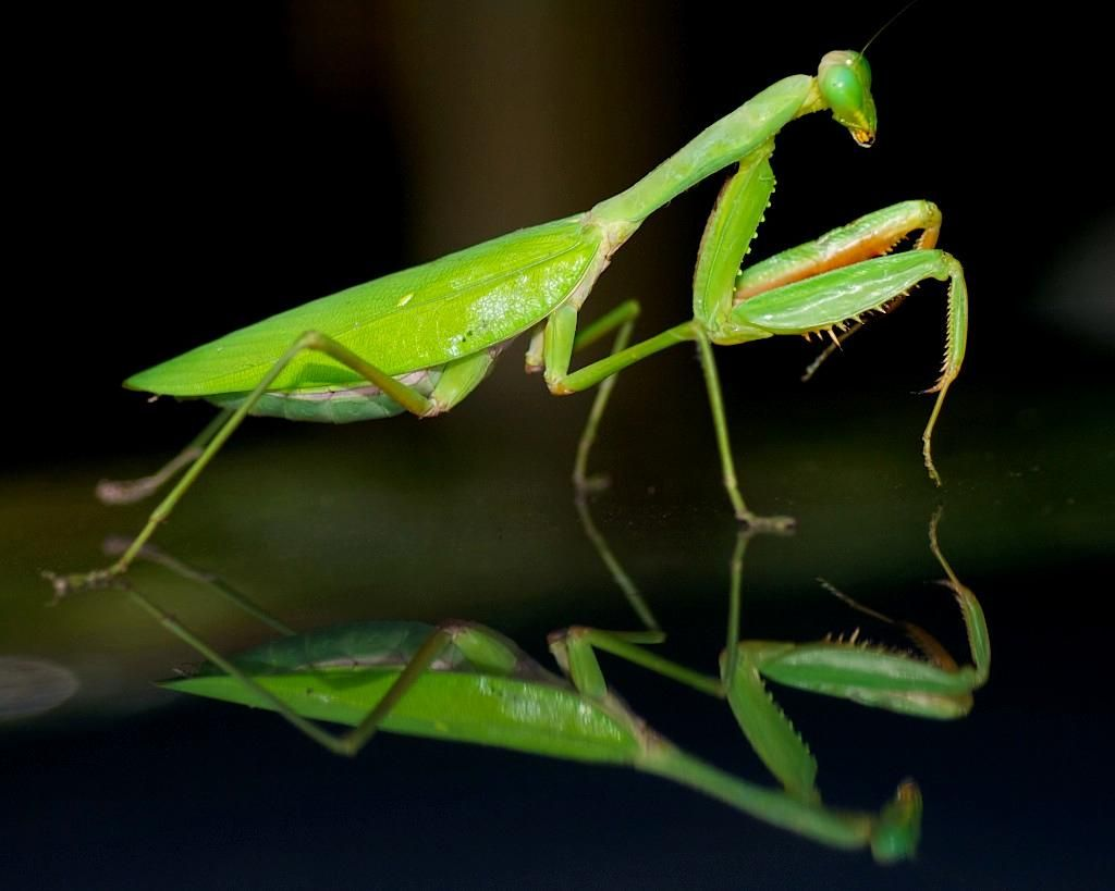 praying mantis anatomy - Google Search | Insects | Pinterest ...