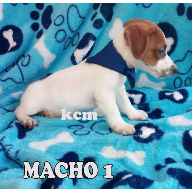 Jack Russell Terrier Miami Pretty Puppies Beautiful And
