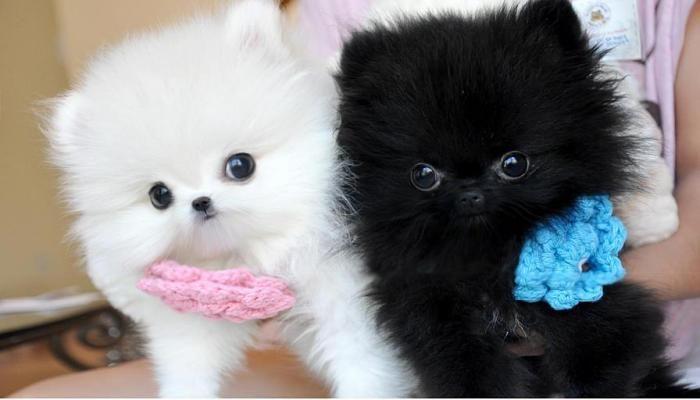 Pomeranian Puppies Sale Baltimore Pomeranian Puppy Teacup Cute Baby Animals Cute Pomeranian