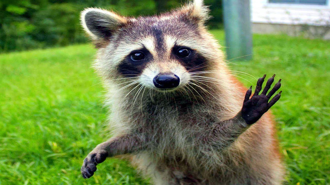 10 Funniest Raccoon Videos Raccoon funny, Funny animal