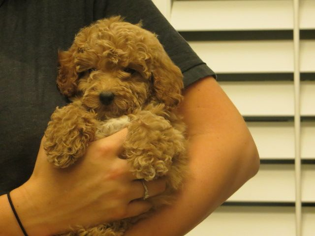 Puppies For Sale Puppies For Sale Goldendoodle Puppy For Sale Mini Goldendoodle Puppies