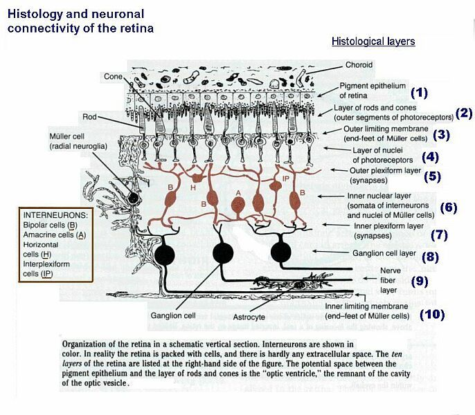 Optic Nerve Anatomy The Cerebral Cortex Anatomical Landmarks And