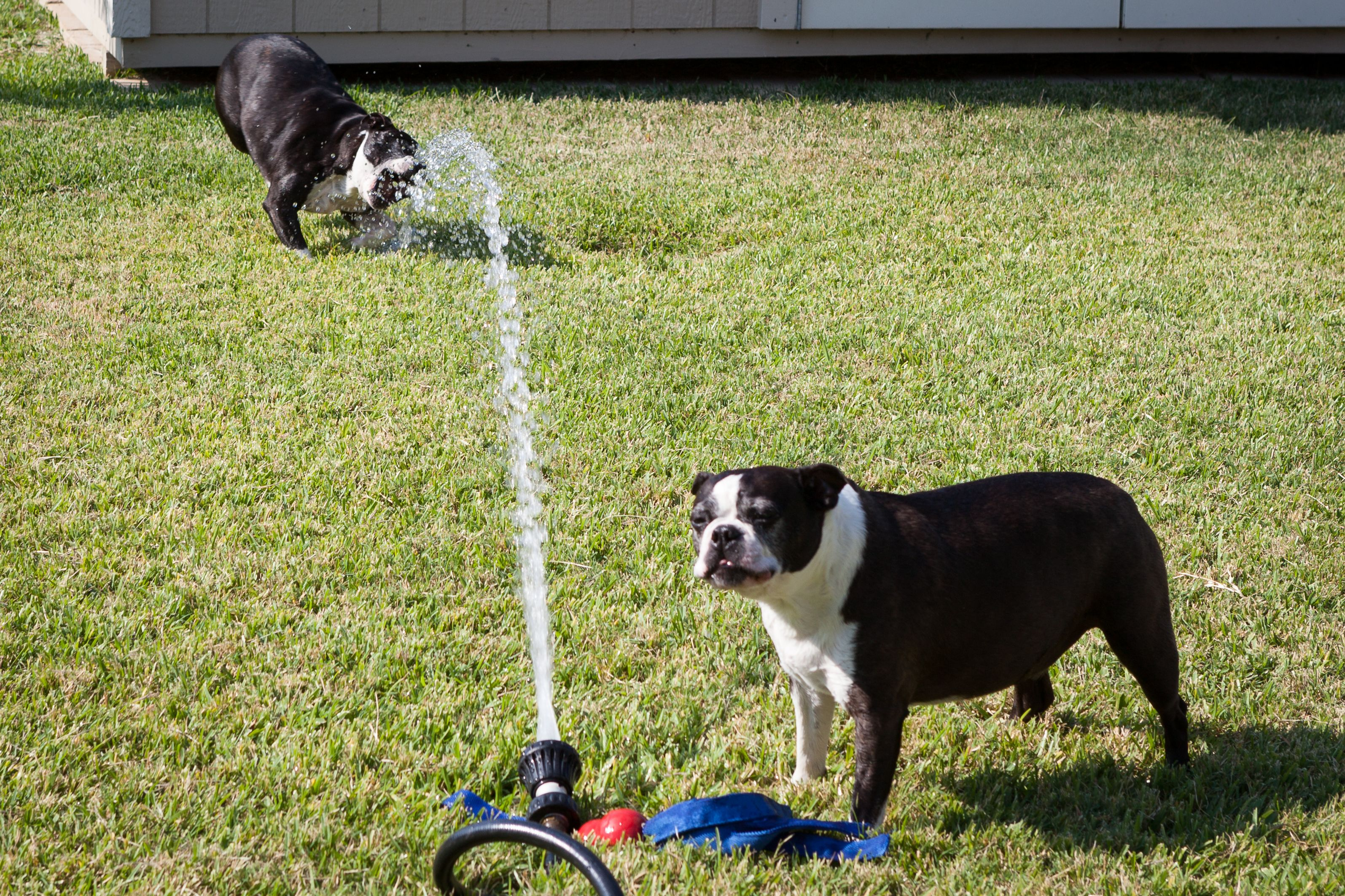 The best way to spend a hot day in Texas! Boston terrier