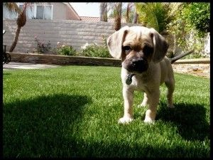 Brutus And Buff Bulldog Breeds Dog Facts Dogs