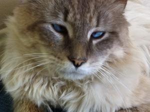 Adopt Teddy On Pet Finder Ragdoll Cat Cats