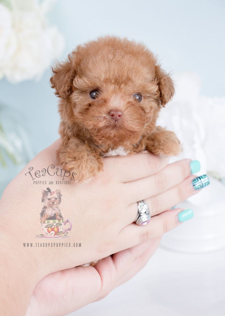 teacup-poodle-puppies-for-sale-teacup-puppies #cuteteacuppuppies