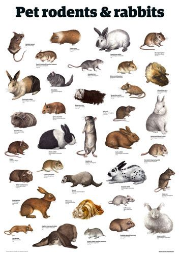 Pet rodents & rabbits by Guardian Wallchart Pet rodents Animals Rodents