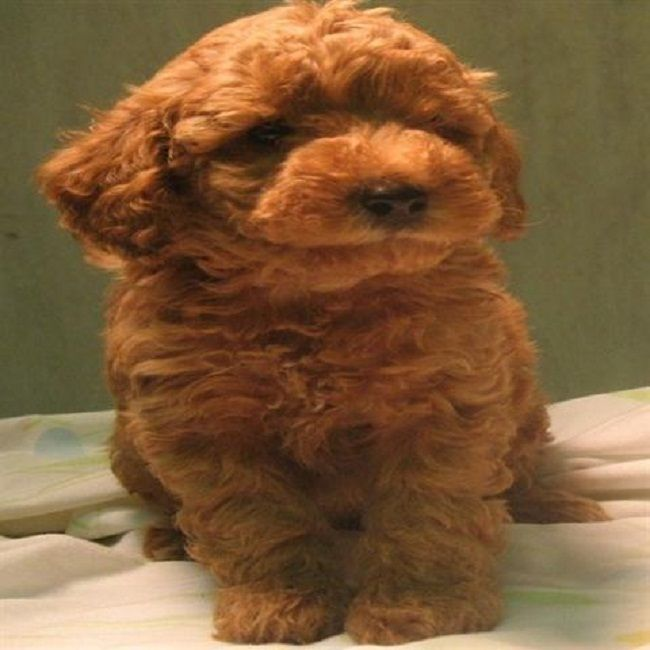 Teacup Maltipoo Puppies For Sale In Nc Zoe Fans Blog Maltipoo